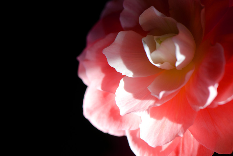 Flower pictured :: Begonia<br /> <br /> Flower provided by :: Tagawa Gardens<br /> <br /> 061312_011647 ICC sRGB 16in x 24in pic