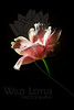 """""""A rose by any other name is, well in this case, a tulip...""""<br /> <br /> Flower pictured :: Tulip<br /> <br /> 022412_002235 ICC adobe 16in x 24in pic 20in x 30in matte"""