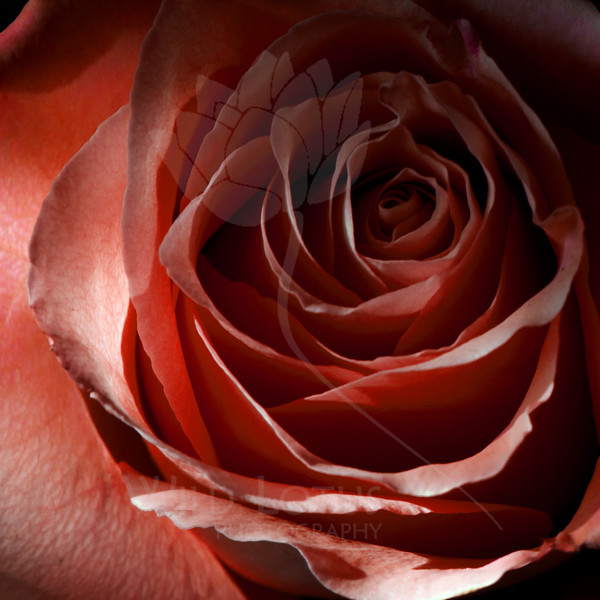 Flower pictured :: Rose<br /> <br /> Flower provided by :: Sterling<br /> <br /> 011313_007413 ICC sRGB 16in x 16in pic