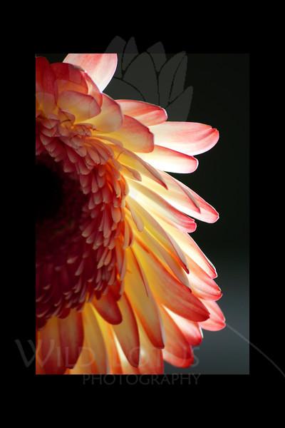 Peeking<br /> <br /> Gerber Daisy<br /> <br /> 123111_002216 ICC adobe 12in x 18in pic 16in x 24in matte