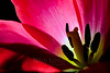 Flower pictured :: Lily Tulip<br /> <br /> Flower provided by :: Whole Foods<br /> <br /> 112914_006043