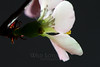 Flower pictured :: Quince<br /> <br /> Flower provided by :: Babylon Floral<br /> <br /> 030213_008847 ICC sRGB 16x24 pic