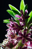 Flower pictured :: Pineapple Lily<br /> <br /> Flower provided by :: Tagawa Gardens<br /> <br /> 080512_014137 ICC sRGB 16in x 24in pic