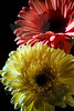 Flower pictured :: Gerber Daisies<br /> <br /> 022812_002569 ICC adobe 16in x 24in pic