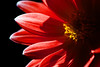 Flower pictured :: Dahlia<br /> <br /> Flower provided by :: Tagawa Gardens<br /> <br /> 042912_007607 ICC sRGB 16in x 24in pic