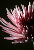 Flower pictured :: Spider Mum<br /> <br /> 030412_002950 ICC adobe 16in x 24in pic