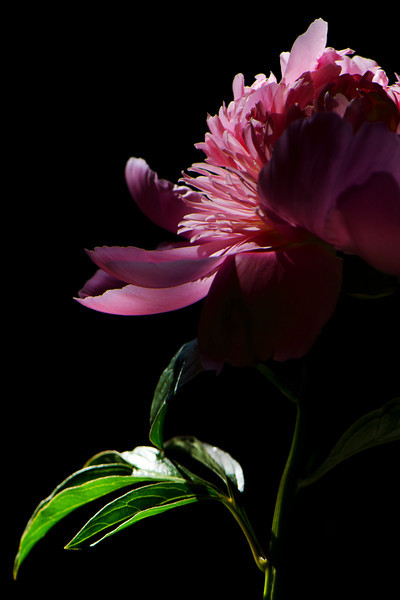 Flower pictured :: Peony<br /> <br /> Flower provided by :: Abloom<br /> <br /> 051412_008915 ICC sRGB 16in x 24in pic