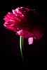 Flower pictured :: Ranunculus<br /> <br /> 031312_003348 ICC adobe 16in x 24in pic