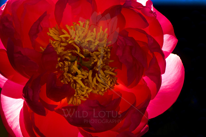 Flower pictured :: Peony<br /> <br /> Flower provided by :: Babylon Floral<br /> <br /> 112914_006057 ICC sRGB 16x24 pic