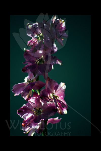 Flower pictured :: Larkspur<br /> <br /> 022812_002533 ICC adobe 16in x 24in pic 20in x 30in matte