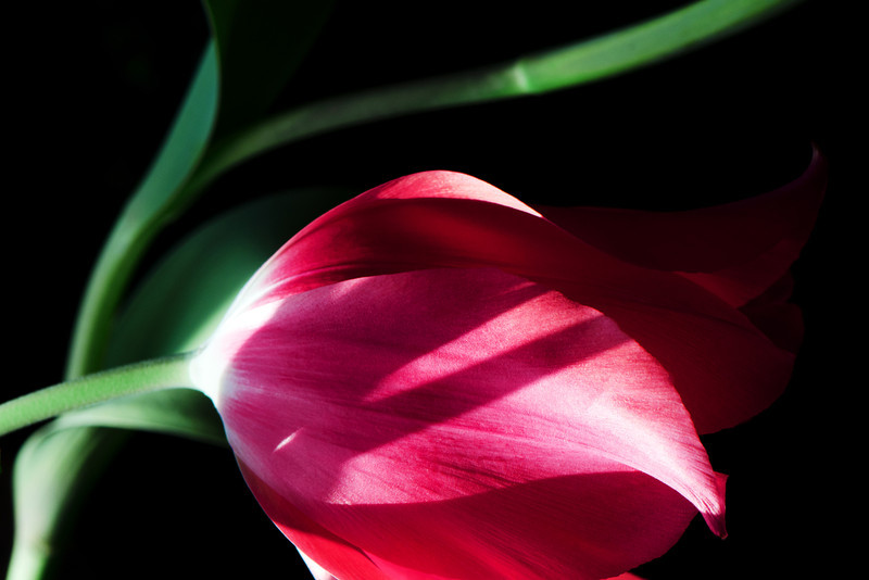 Streetlight<br /> <br /> Flower pictured :: Temple of Beauty tulip<br /> <br /> Flower provided by :: Tagawa Gardens<br /> <br /> 032713_009713 ICC sRGB 16x24 pic