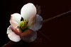 Perfection Is What You Make It...<br /> <br /> Flower pictured :: Quince<br /> <br /> Flower provided by :: Babylon Floral<br /> <br /> 022813_008702 ICC sRGB 16x24 pic