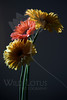 Flower pictured :: Gerber Daisies<br /> <br /> 022812_002549 ICC adobe 16in x 24in pic