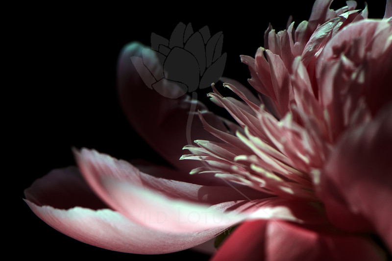 Flower pictured :: Peony<br /> <br /> Flower provided by :: Abloom<br /> <br /> 051412_008930 ICC sRGB 16in x 24in pic