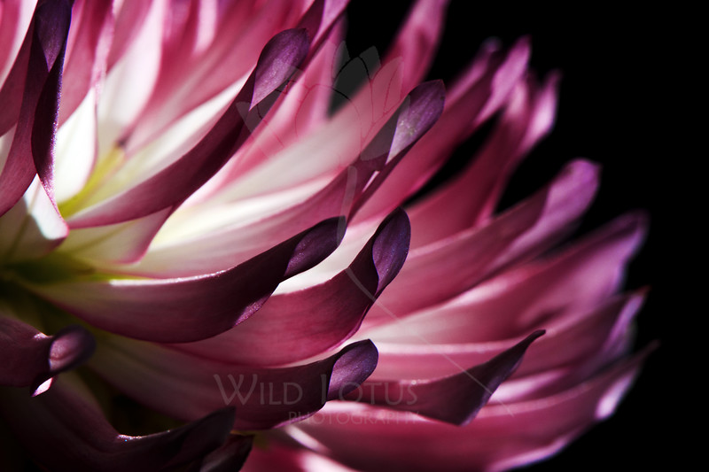 Flower pictured :: Dahlia<br /> <br /> Flower provided by :: Whole Foods<br /> <br /> 093012_002440 ICC sRGB 16in x 24in pic