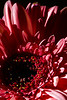 Flower pictured :: Gerbera Daisy<br /> <br /> 033012_004606 ICC sRGB 16in x 24in pic