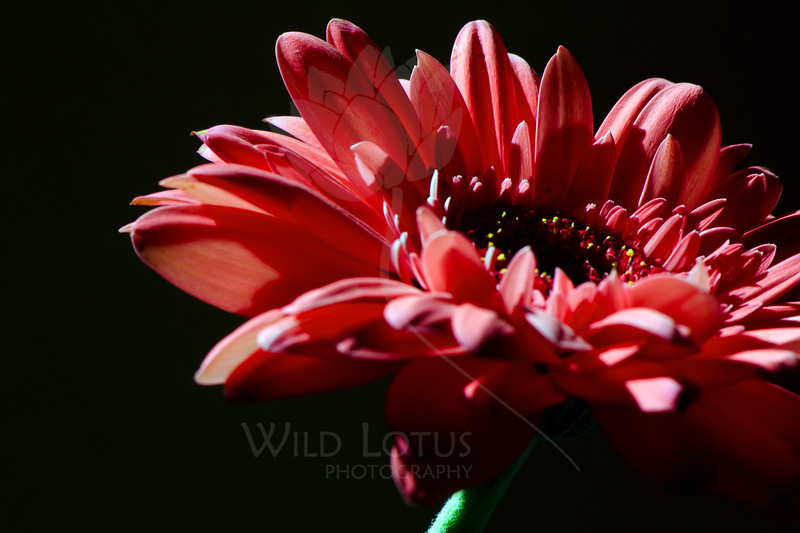 Flower pictured :: Gerbera Daisy<br /> <br /> 033012_004615 ICC sRGB 16in x 24in pic