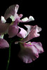 Flower pictured :: Sweet Pea<br /> <br /> 033112_004718 ICC sRGB 12in x 18in pic