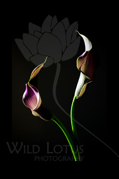 Flower pictured :: Calla Lilies<br /> <br /> 022412_002221 ICC adobe 16in x 24in pic 20in x 30in matte