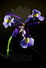 Nova<br /> <br /> Flower pictured :: Iris<br /> <br /> 030112_002641 ICC adobe 16in x 24in pic