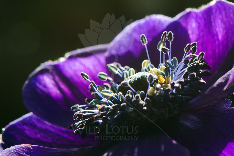 Starfall<br /> <br /> Flower pictured :: Anemone<br /> <br /> Flower provided by :: Abloom<br /> <br /> 030213_008765 ICC sRGB 16x24 pic