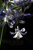 Flower pictured :: Agapanthus<br /> <br /> Flower provided by :: Abloom<br /> <br /> 051512_009095 ICC sRGB 16in x 24in pic