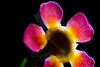 Flower pictured :: Waxflower<br /> <br /> Flower provided by  :: Little Flower Market<br /> <br /> 090912_001232 ICC sRGB 16in x 24in pic