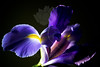 """Isis Rising<br /> <br /> Flower featured in """"A Year In Bloom 2013 Calendar""""<br /> <br /> Flower pictured :: Iris<br /> <br /> 030112_002653 ICC adobe 16in x 24in pic"""