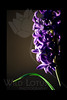 Hyacinth in Purple<br /> <br /> Flower pictured :: Hyacinth<br /> <br /> 022412_002139 ICC adobe 16in x 24in pic 20in x 30in matte