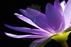 Queen of Dreams<br /> <br /> Flower pictured :: Waterlily<br /> <br /> Flower provided by :: Enery Water Gardens<br /> <br /> 071113_013262 ICC sRGB 16x24 pic