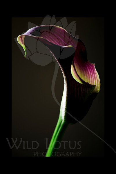 Flower pictured :: Calla Lily<br /> <br /> 022412_002212 ICC adobe 16in x 24in pic 20in x 30in matte