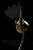 Flower pictured :: Allium<br /> <br /> Flower provided by :: Babylon Floral<br /> <br /> 062312_011996 ICC sRGB 16in x 24in pic