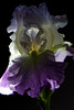 Flower pictured :: German Iris<br /> <br /> Flower provided by :: Tagawa Gardens<br /> <br /> 050912_008320 ICC sRGB 16in x 24in pic