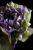 Flower pictured :: Lisianthus<br /> <br /> 033112_004690 ICC sRGB 16in x 24in pic