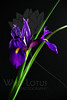 Curve & Iris<br /> <br /> Flower pictured :: Siberian Iris<br /> <br /> 033112_004731 ICC sRGB 16in x 24in pic