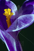 Flower pictured :: Crocus<br /> <br /> Flower provided by :: Tagawa Gardens<br /> <br /> 031213_008991 ICC sRGB 16x24 pic