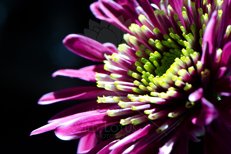 Flower pictured :: Daisy<br /> <br /> Flower provided by :: Whole Foods<br /> <br /> 030213_008820 ICC sRGB 16x24 pic
