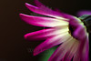 Flower pictured :: Daisy<br /> <br /> Flower provided by :: Tagawa Gardens<br /> <br /> 050912_008335 ICC sRGB 16in x 24in pic