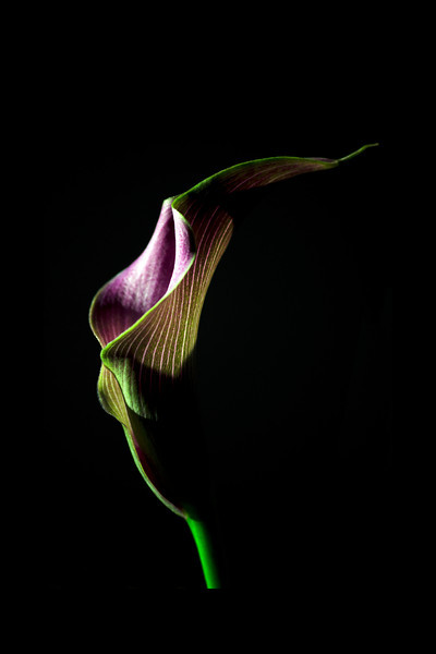 Flower pictured :: Calla Lily<br /> <br /> 022412_002182 ICC adobe 16in x 24in pic 20in x 30in matte