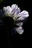 Flower pictured :: Pincushion<br /> <br /> Flower provided by :: Tagawa Gardens<br /> <br /> 073012_013843 ICC sRGB 16in x 24in pic