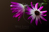 Flower pictured :: Daisies<br /> <br /> Flower provided by :: Tagawa Gardens<br /> <br /> 050912_008333 ICC sRGB 16in x 24in pic
