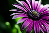 Flower pictured :: Daisy<br /> <br /> Flower provided by :: Tagawa Gardens<br /> <br /> 050912_008365 ICC sRGB 16in x 24in pic