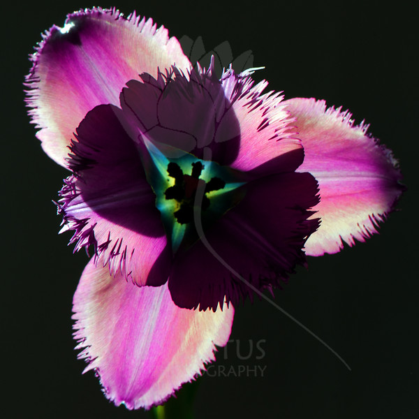 Flower pictured :: Tulip<br /> <br /> Flower provided by :: Whole Foods<br /> <br /> 121612_006459 ICC sRGB 16in x 16in pic