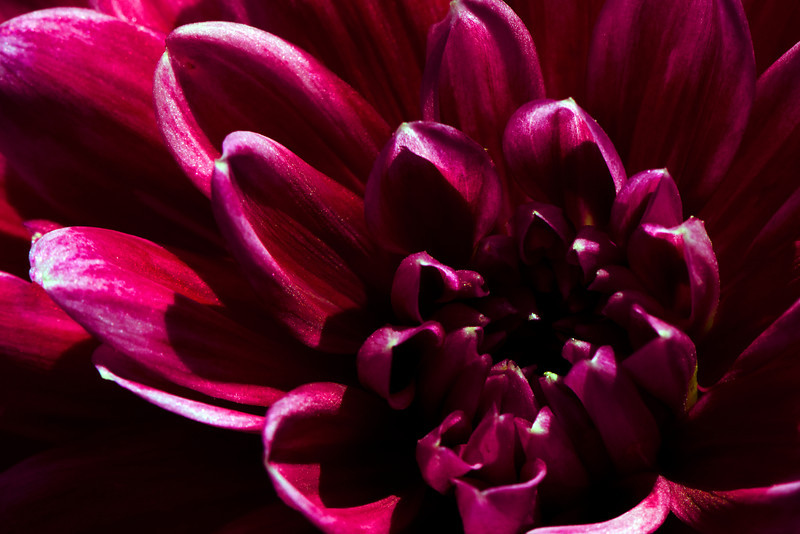 Flower pictured :: Dahlia<br /> <br /> Flower provided by :: Whole Foods @ Hampden<br /> <br /> 093012_002468 ICC sRGB 16in x 24in pic