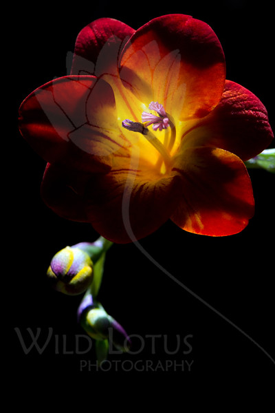 Flower pictured :: Freesia<br /> <br /> Flower provided by :: Whole Foods @ Hampden<br /> <br /> 093012_002309 ICC sRGB 16in x 24in pic