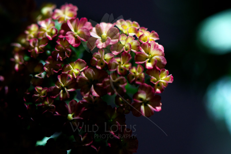 Flower pictured :: Yarrow<br /> <br /> Flower provided by :: Tagawa Gardens<br /> <br /> 090412_000993 ICC sRGB 16in x 24in pic