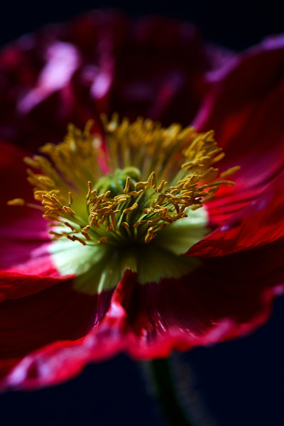 Flower pictured :: Iceland Poppy<br /> <br /> Flower provided by :: Tagawa Gardens<br /> <br /> 050312_007748 ICC sRGB 16in x 24in pic