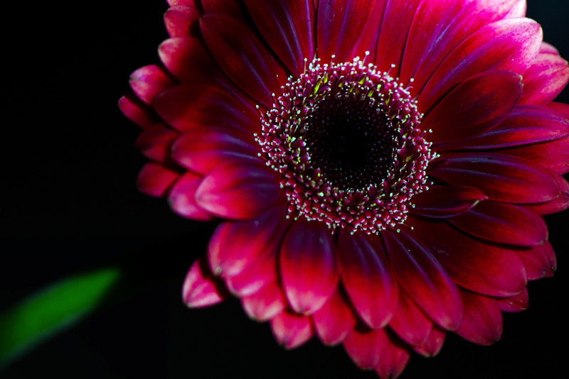 Stary Sky<br /> <br /> Flower pictured :: Gerbera Daisy<br /> <br /> Flower provided by :: More Flowers<br /> <br /> 060412_010632 ICC sRGB 16in x 24in pic