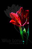 Shooting Star<br /> <br /> Kaffir Lily<br /> <br /> 021212_006481 ICC adobe 16in x 24in pic 20in x 30in matte