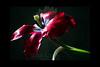 untitled<br /> <br /> Tulip<br /> <br /> 012212_004324 ICC adobe 16in x 24in pic 20in x 30in matte